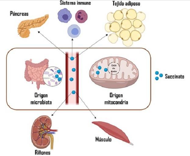 Interacciones metabólicas del succinato con tejidos y órganos periféricos.
