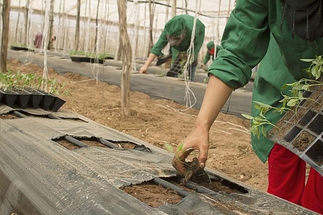 Plantación en un invernadero.