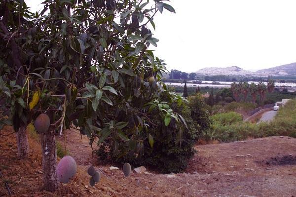 Cultivo de tropicales en la Costa de Granada.