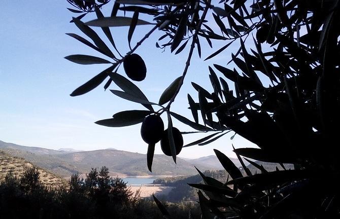 Aceitunas en olivos junto al embalse de Colomera.