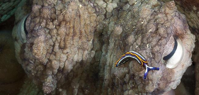 Un pulpo en las aguas de la Costa Tropical.