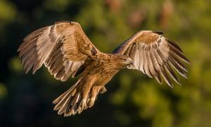 Majestuosa imagen de un águila imperial ibérica.