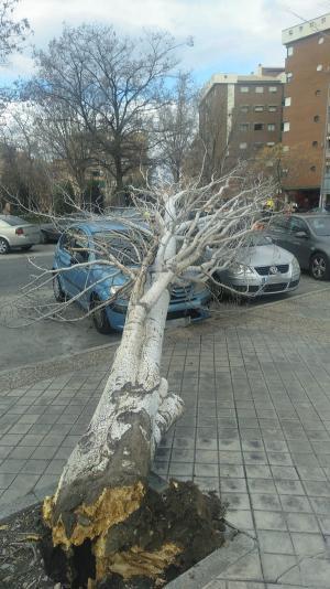 Imagen del árbol, arrancado de cuajo.