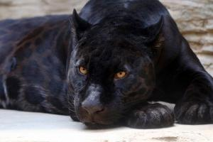 Ejemplar de pantera negra.