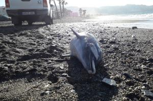Delfín encontrado en la playa.