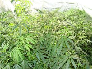 Plantas de marihuana descubiertas en la vivienda.