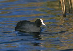 Focha común, el ave más habitual en los humedales granadinos.