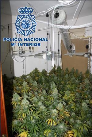 13 habitaciones de los inmuebles estaban dedicadas al cultivo de droga.
