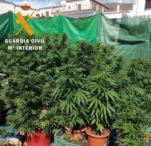 Plantas de marihuana intervenidas en un patio de Válor en una anterior operación.