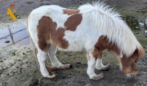 El poni, con las patas deformadas.