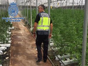 Un agente inspecciona uno de los invernaderos de marihuana.