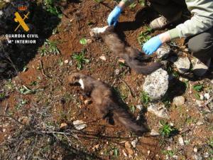 Las dos garduñas cayeron en una trampa para zorros.