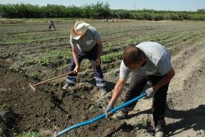 Agricultores labrando tierras en la Vega.