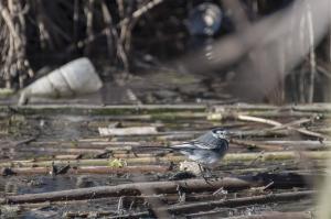 Los pájaros conviven con la basura y el agua contaminada en el humedal.