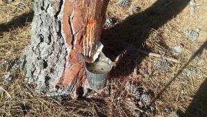 Recolección de resina de un pino en la Sierra de la Almijara.