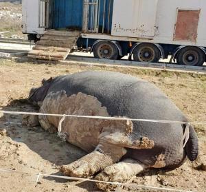 Hipopótamo de un circo instalado recientemente en el municipio.