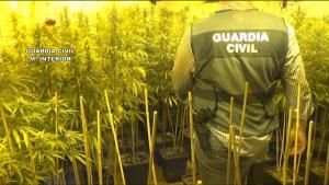 Imagen de cultivo de marihuana aprehendido en la operación.