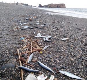 Peces aparecidos en la playa de El Peñón.
