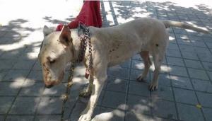El perro fue atado en un árbol, a pleno sol, sin agua ni comida.