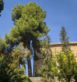 El pino que se va a talar, en los jardines del Hospital Real.