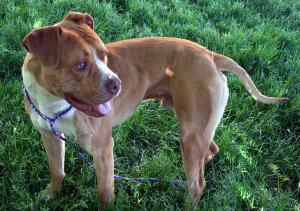Un pitbull, perro de raza potencialmente peligrosa.