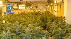 Plantación de marihuana descubierta en la capital.