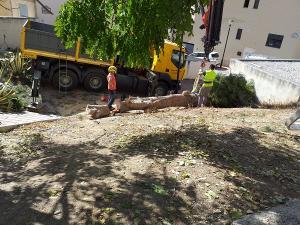 Tala del árbol emblemático de la Cuesta del Pino.