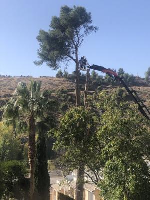 Imagen de las tareas para la tala del gran árbol de la Cuesta del Pino.