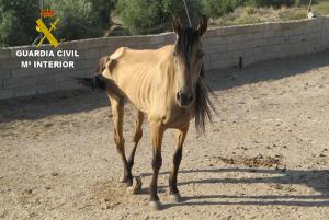 La yegua, en evidente estado de desnutrición.