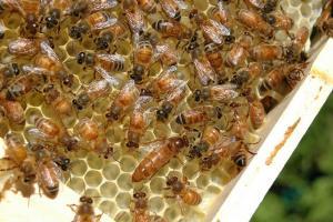 Las colonias de abejas forman redes con papeles específicos.