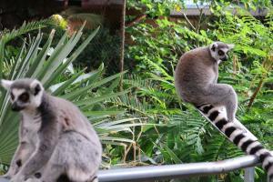 Lemures, en el Biodomo del Parque de las Ciencias.