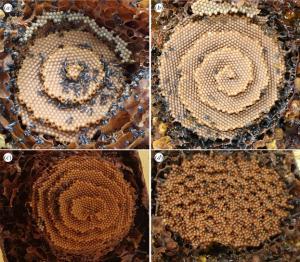 Panales de abejas con (a) patrones diana, (b) espiral, (c) espirales dobles y (d) terrazas desordenadas.