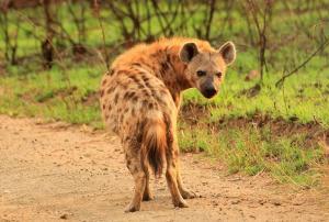 Una hiena.