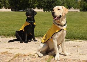 Imagen de archivo del adiestramiento a dos perros guías.