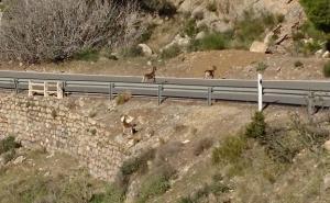 Cabras atraviesan la carretera A-346, cerca de Órgiva.