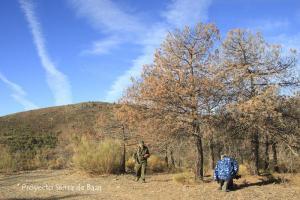 Estado de pinos secos por las plagas.